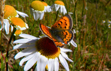 Butterfly resting on a daisy